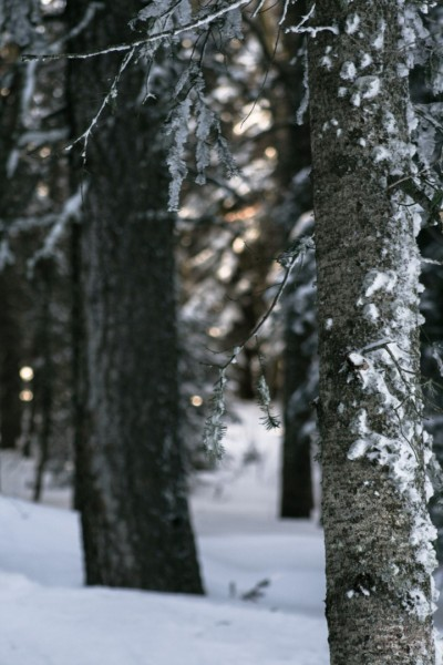 wintery-forest